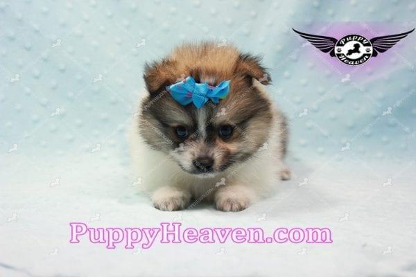 Foxy - Teacup Pomeranian Puppy-10019