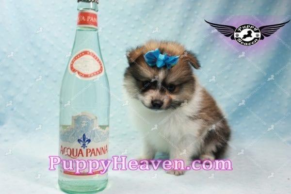 Foxy - Teacup Pomeranian Puppy-10015