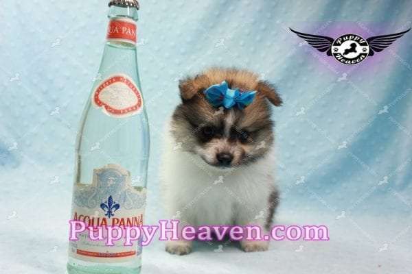 Foxy - Teacup Pomeranian Puppy-10018