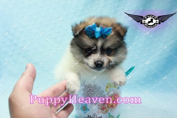 Foxy - Teacup Pomeranian Puppy-10012