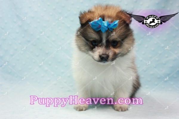 Foxy - Teacup Pomeranian Puppy-10016