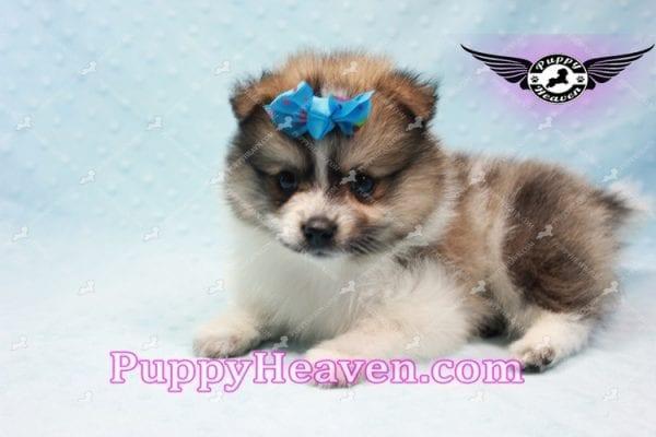 Foxy - Teacup Pomeranian Puppy-10013