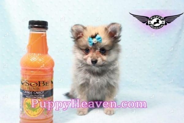 George Lopez - Teacup Pomeranian-9717