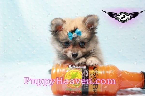 George Lopez - Teacup Pomeranian-9711