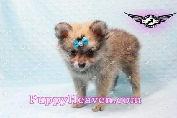 George Lopez - Teacup Pomeranian-9714