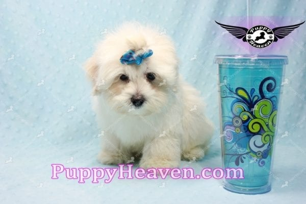 Google - Maltese Puppy has found a good loving home with Rosalyn from North Las Vegas, NV 89031-10128