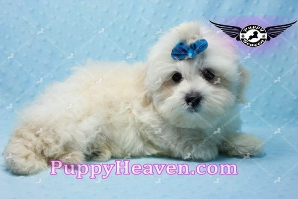 Google - Maltese Puppy has found a good loving home with Rosalyn from North Las Vegas, NV 89031-10124