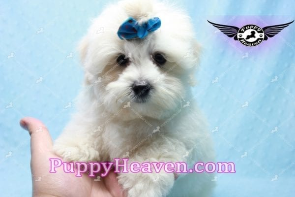 Google - Maltese Puppy has found a good loving home with Rosalyn from North Las Vegas, NV 89031-10127
