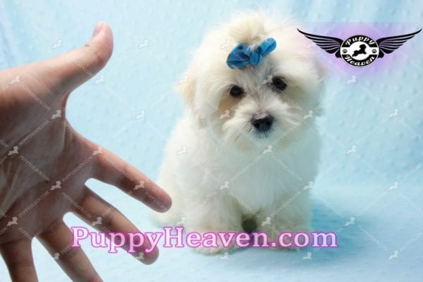 Google - Maltese Puppy has found a good loving home with Rosalyn from North Las Vegas, NV 89031-0