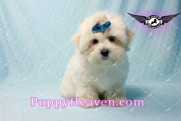 Google - Maltese Puppy has found a good loving home with Rosalyn from North Las Vegas, NV 89031-10126