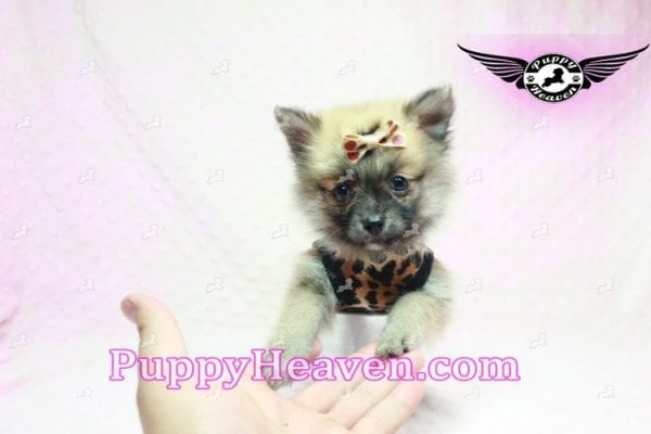 Gwen Stefani - Teacup Pomeranian Found A New Loving Home With Monica From Calgary Alberta CA-9623