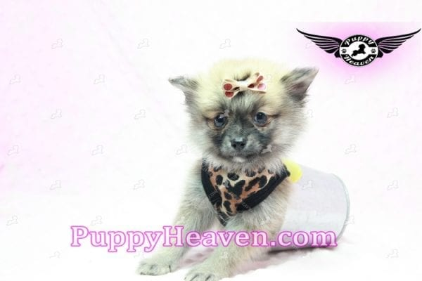 Gwen Stefani - Teacup Pomeranian Found A New Loving Home With Monica From Calgary Alberta CA-9625
