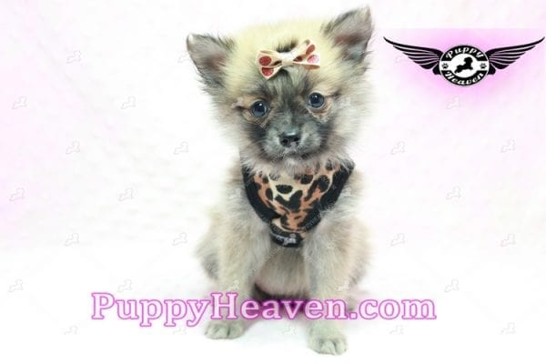 Gwen Stefani - Teacup Pomeranian Found A New Loving Home With Monica From Calgary Alberta CA-9622
