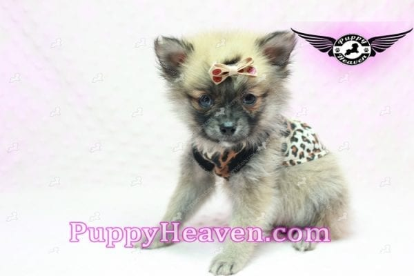 Gwen Stefani - Teacup Pomeranian Found A New Loving Home With Monica From Calgary Alberta CA-9624