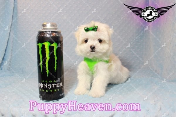 H&M - Teacup Maltese Puppy Has Found A Loving Home With Ella in Las Vegas, NV!-0