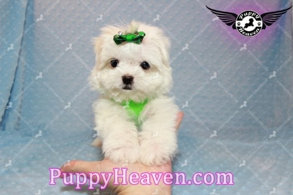H&M - Teacup Maltese Puppy Has Found A Loving Home With Ella in Las Vegas, NV!-9811