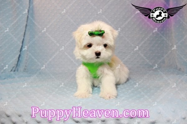 H&M - Teacup Maltese Puppy Has Found A Loving Home With Ella in Las Vegas, NV!-9812