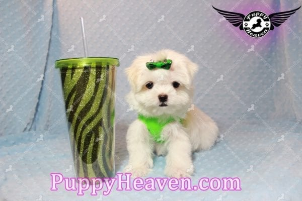 H&M - Teacup Maltese Puppy Has Found A Loving Home With Ella in Las Vegas, NV!-9810