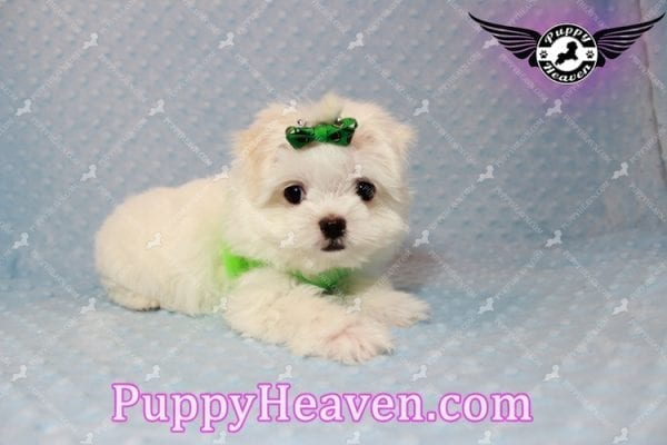 H&M - Teacup Maltese Puppy Has Found A Loving Home With Ella in Las Vegas, NV!-9809