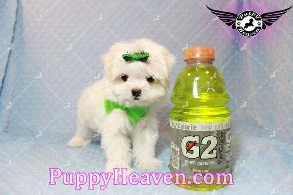 H&M - Teacup Maltese Puppy Has Found A Loving Home With Ella in Las Vegas, NV!-9808