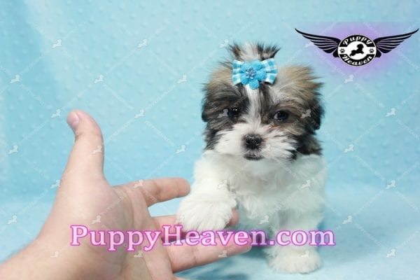 Hero - Teacup Malshi Puppy has found a good loving home with Nathan from Henderson, NV 89052-9737