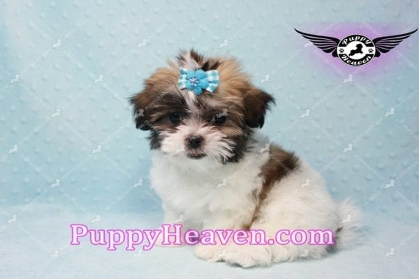 Hero - Teacup Malshi Puppy has found a good loving home with Nathan from Henderson, NV 89052-9733