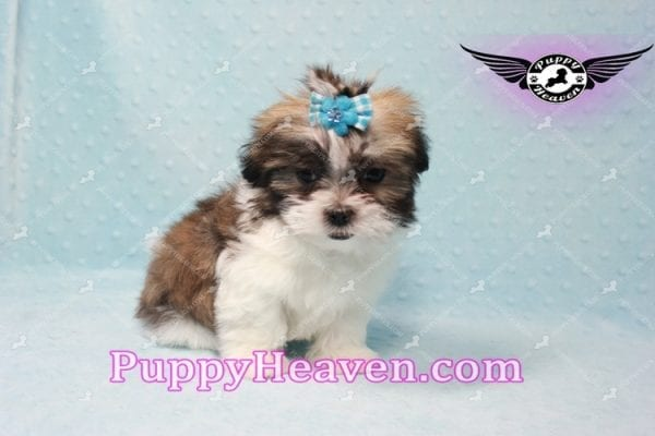 Hero - Teacup Malshi Puppy has found a good loving home with Nathan from Henderson, NV 89052-9732