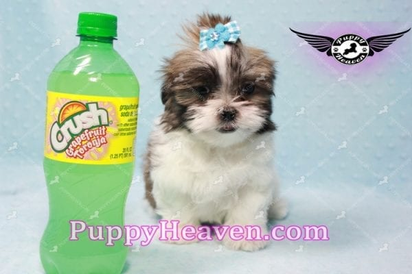 Hero - Teacup Malshi Puppy has found a good loving home with Nathan from Henderson, NV 89052-9736