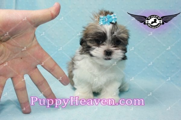 Hero - Teacup Malshi Puppy has found a good loving home with Nathan from Henderson, NV 89052-9734