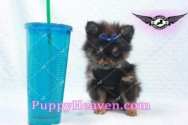 Johnny Depp - Teacup Pomeranian Found His Loving home with Andres from Van Nuys 91406-9697