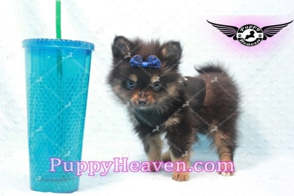 Johnny Depp - Teacup Pomeranian Found His Loving home with Andres from Van Nuys 91406-9695