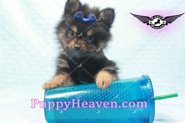 Johnny Depp - Teacup Pomeranian Found His Loving home with Andres from Van Nuys 91406-9698