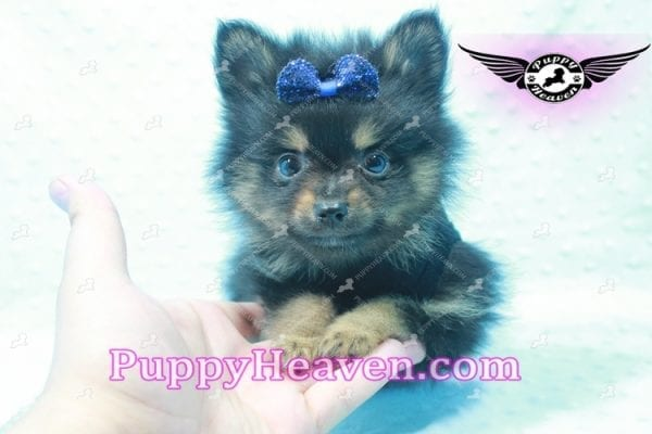 Johnny Depp - Teacup Pomeranian Found His Loving home with Andres from Van Nuys 91406-9693
