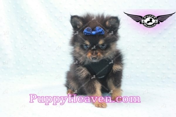 Johnny Depp - Teacup Pomeranian Found His Loving home with Andres from Van Nuys 91406-0