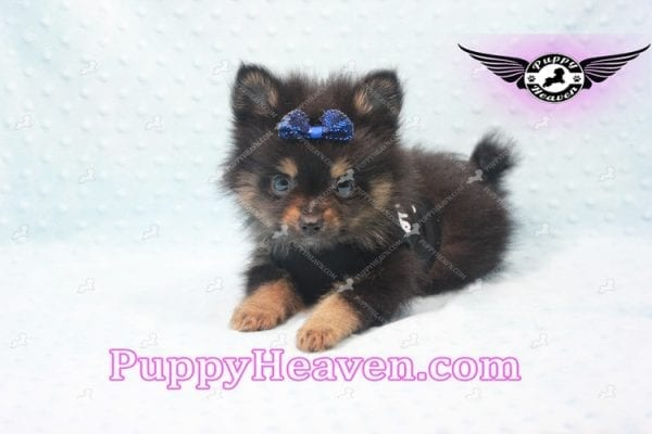 Johnny Depp - Teacup Pomeranian Found His Loving home with Andres from Van Nuys 91406-9691