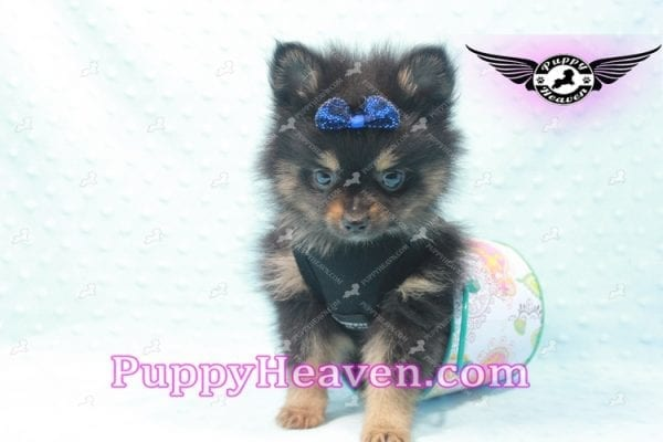 Johnny Depp - Teacup Pomeranian Found His Loving home with Andres from Van Nuys 91406-9699