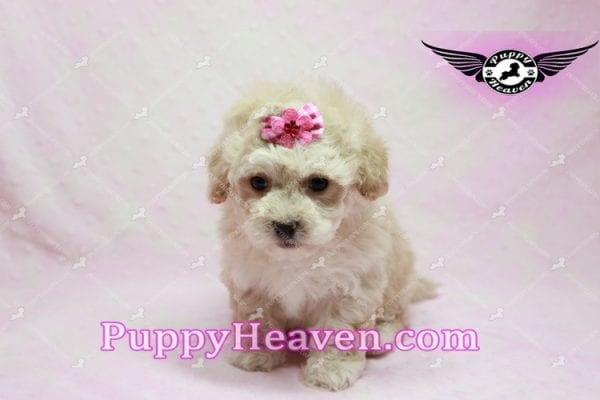 Julia Roberts - Maltipoo Puppy -9943