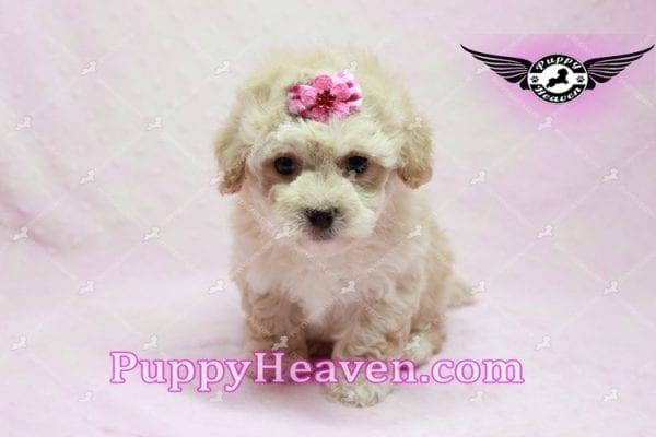 Julia Roberts - Maltipoo Puppy -9946