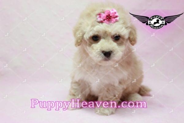 Julia Roberts - Maltipoo Puppy -9949