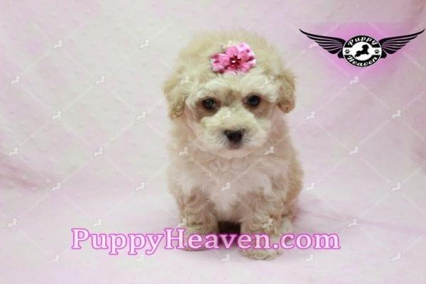Julia Roberts - Maltipoo Puppy -9940