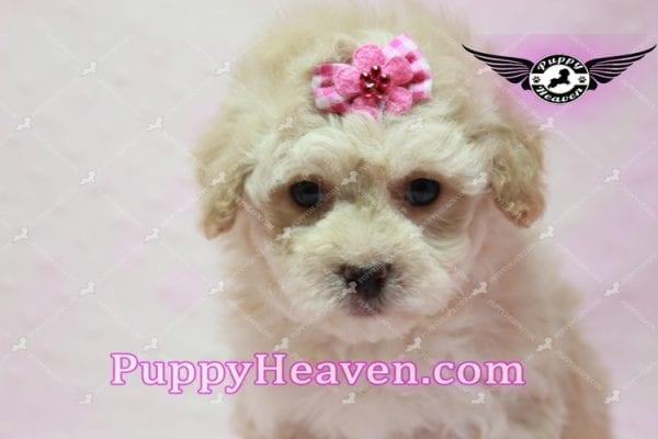Julia Roberts - Maltipoo Puppy -9944