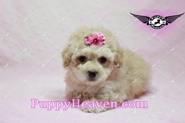 Julia Roberts - Maltipoo Puppy -9939
