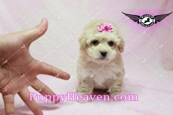 Julia Roberts - Maltipoo Puppy -9941