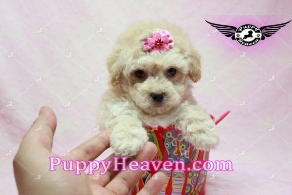 Julia Roberts - Maltipoo Puppy -9945