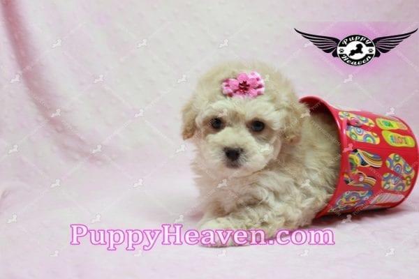 Julia Roberts - Maltipoo Puppy -9942