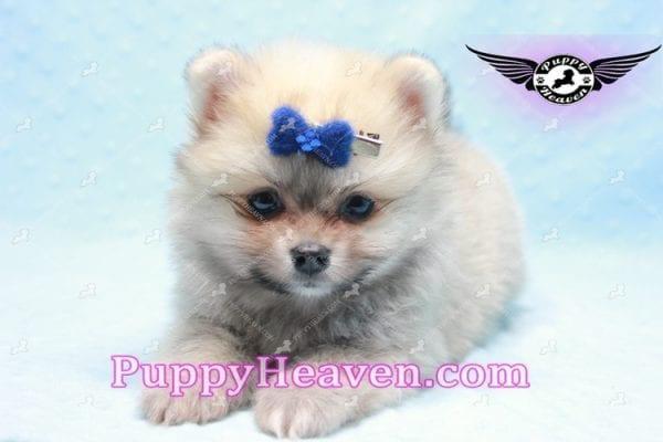 King Of Hearts - Teacup Pomeranian Puppy -0