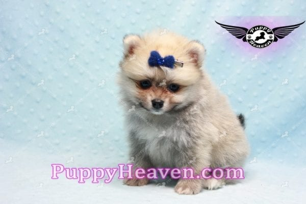 King Of Hearts - Teacup Pomeranian Puppy -10022