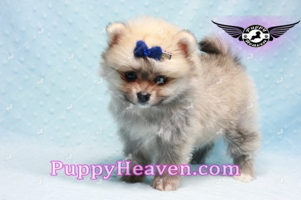 King Of Hearts - Teacup Pomeranian Puppy -10029