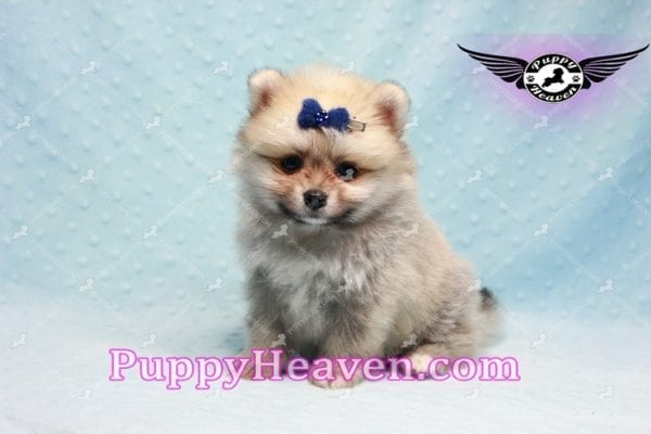 King Of Hearts - Teacup Pomeranian Puppy -10026