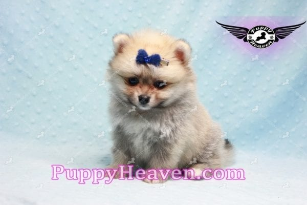 King Of Hearts - Teacup Pomeranian Puppy -10020